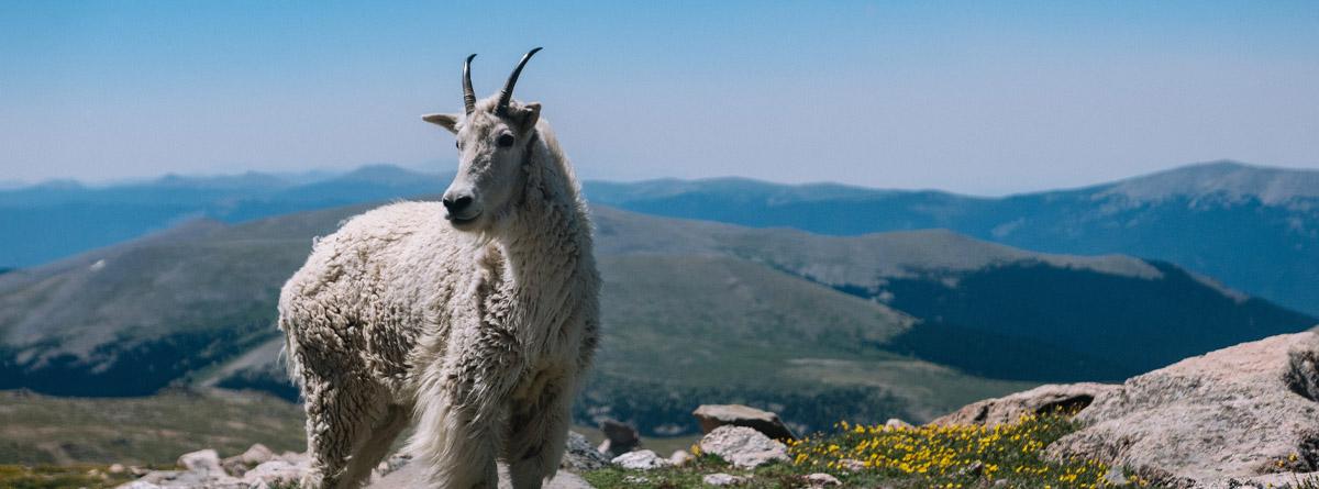 Любовь зла — полюбишь и козла